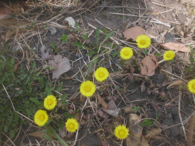 yellow crocuses 001